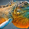 Amazing iguana HD wallpaper