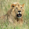 Africa animals lions nature HD wallpaper
