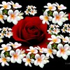 Roses and plumeria collage HD wallpaper