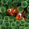 Animals clownfish fish sea anemones HD wallpaper