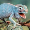 Animals blue chameleons funny lizards HD wallpaper