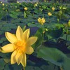 Yellow waterlilies HD wallpaper