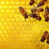 Bees honeycomb HD wallpaper