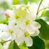 Fleurs floraison Cherry  HD wallpaper