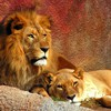 Animaux lions sauvages de la nature  HD wallpaper