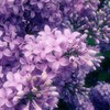 Sea of purple flowers HD wallpaper