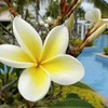 Plumeria by swimming pool bora HD wallpaper
