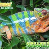 Blue animals chameleons bar reptile reptiles chameleon HD wallpaper