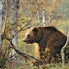 Bears birch brown forests HD wallpaper