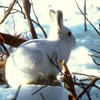 Animals arctic branches bunnies nature HD wallpaper