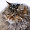 Animals cats snow winter HD wallpaper