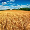 Landscapes nature fields wheat HD wallpaper