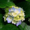 Nature hydrangeas HD wallpaper