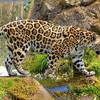 Beautiful wild jaguar HD wallpaper