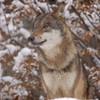 Red wolf in the woods HD wallpaper
