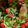 Birds berries waxwing HD wallpaper