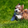 Cute havanese puppy HD wallpaper
