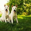 Akita dogs HD wallpaper