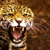Animals jaguar HD wallpaper