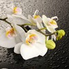 One orchid HD wallpaper