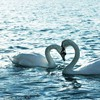 Love animals swans lakes two duck water bird HD wallpaper