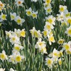 Flowers garden daffodils HD wallpaper