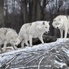 Nature animals white wolf wolves HD wallpaper