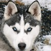 Siberian husky animals HD wallpaper
