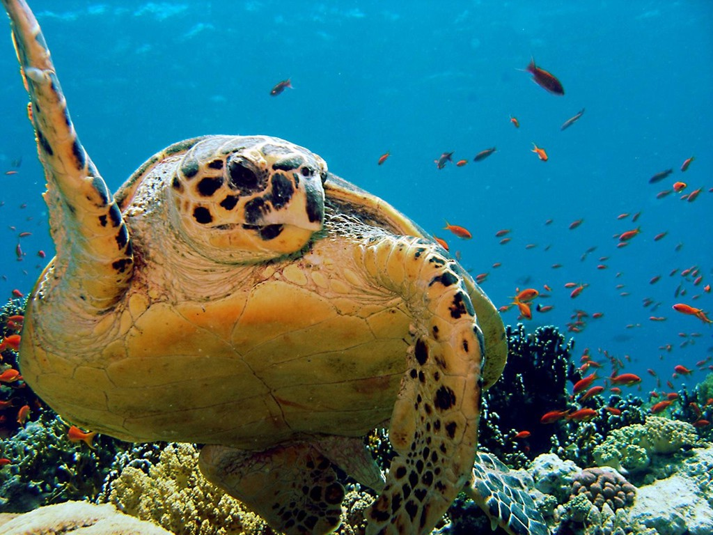 Top 27 Sea Animals Wallpapers In Hd: Ocean Animals Turtles Wallpaper
