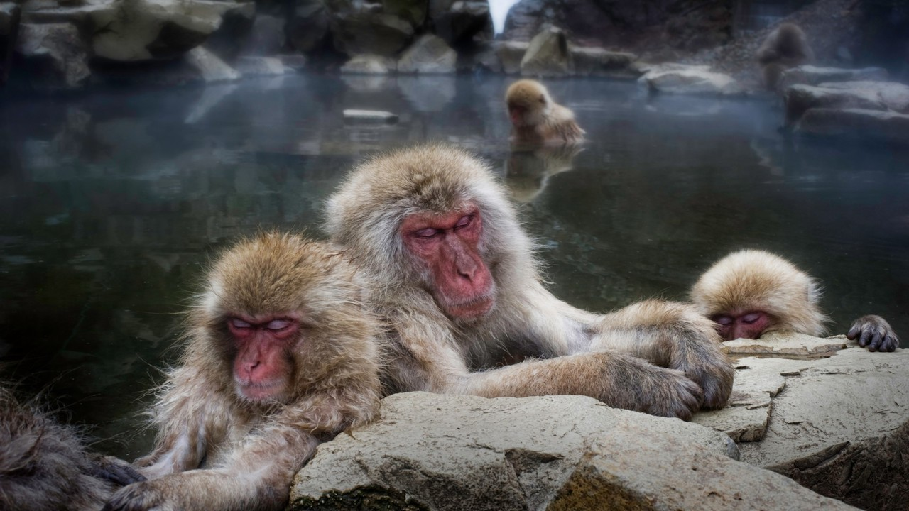 animals hdr photography snow monkey japanese macaque