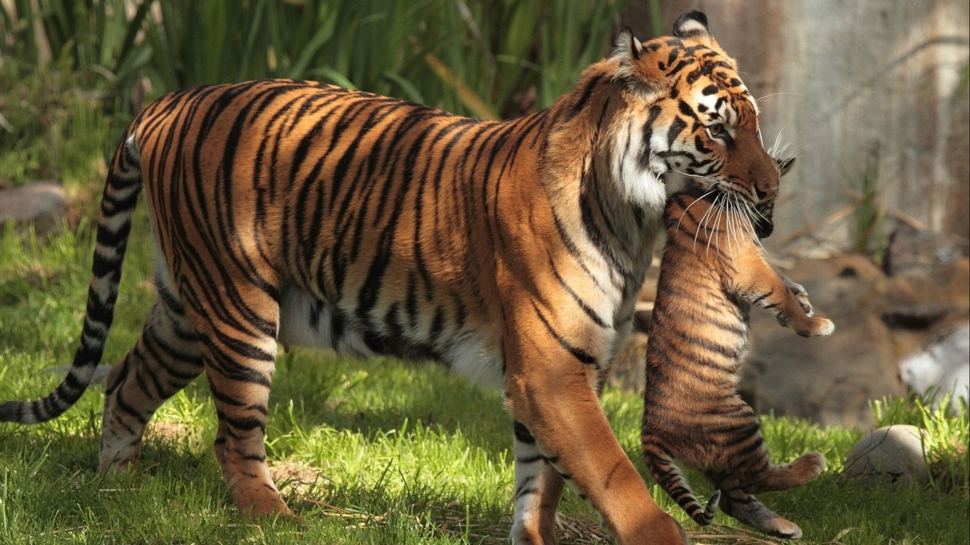 Animals Tigers Baby Motherhood Wallpaper Allwallpaper In