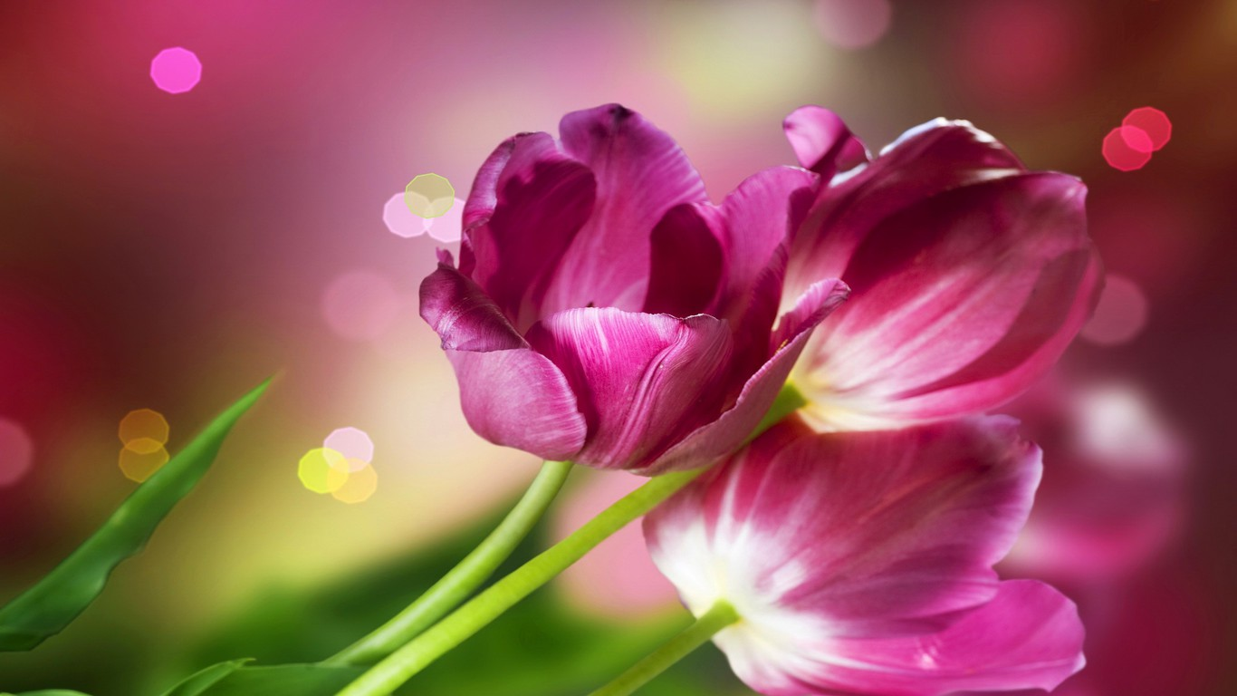 Some Beautiful Tulips Wallpaper 5467