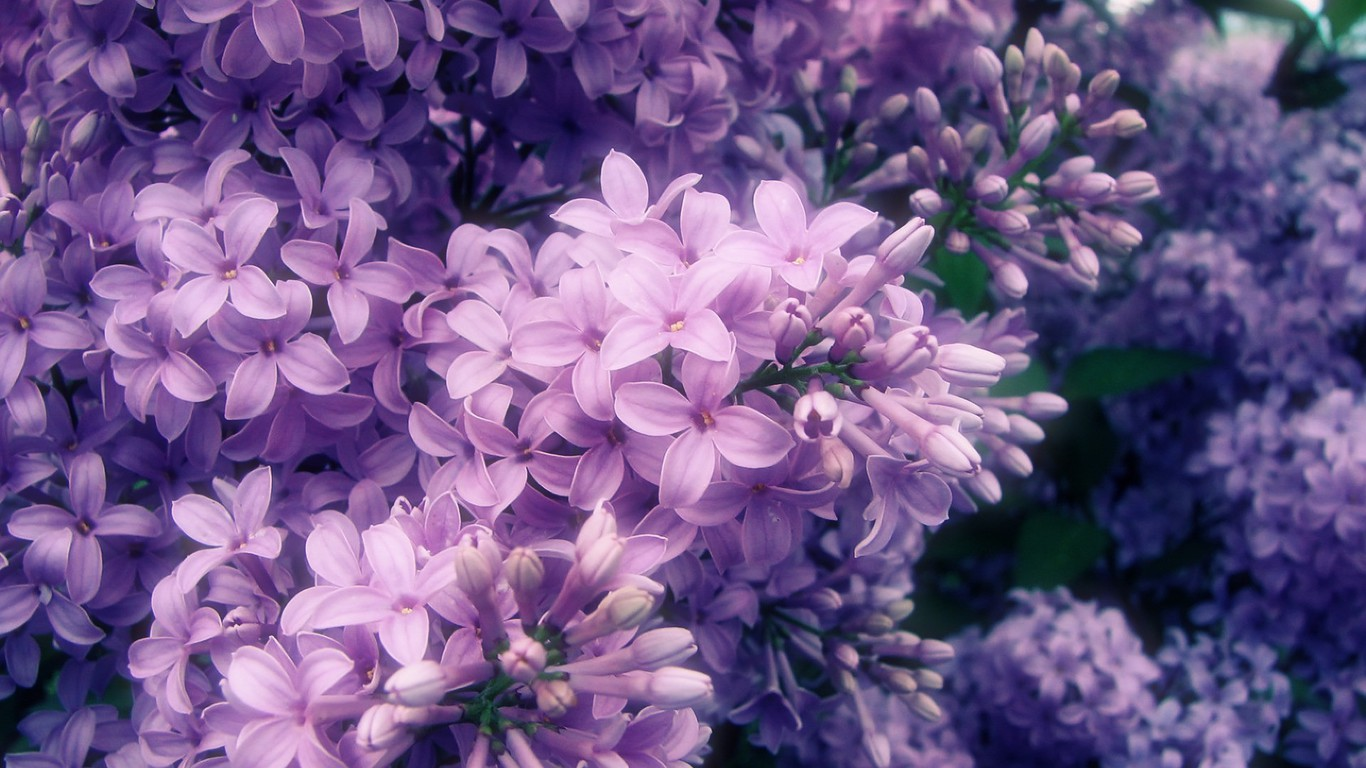 Sea Of Purple Flowers Wallpaper