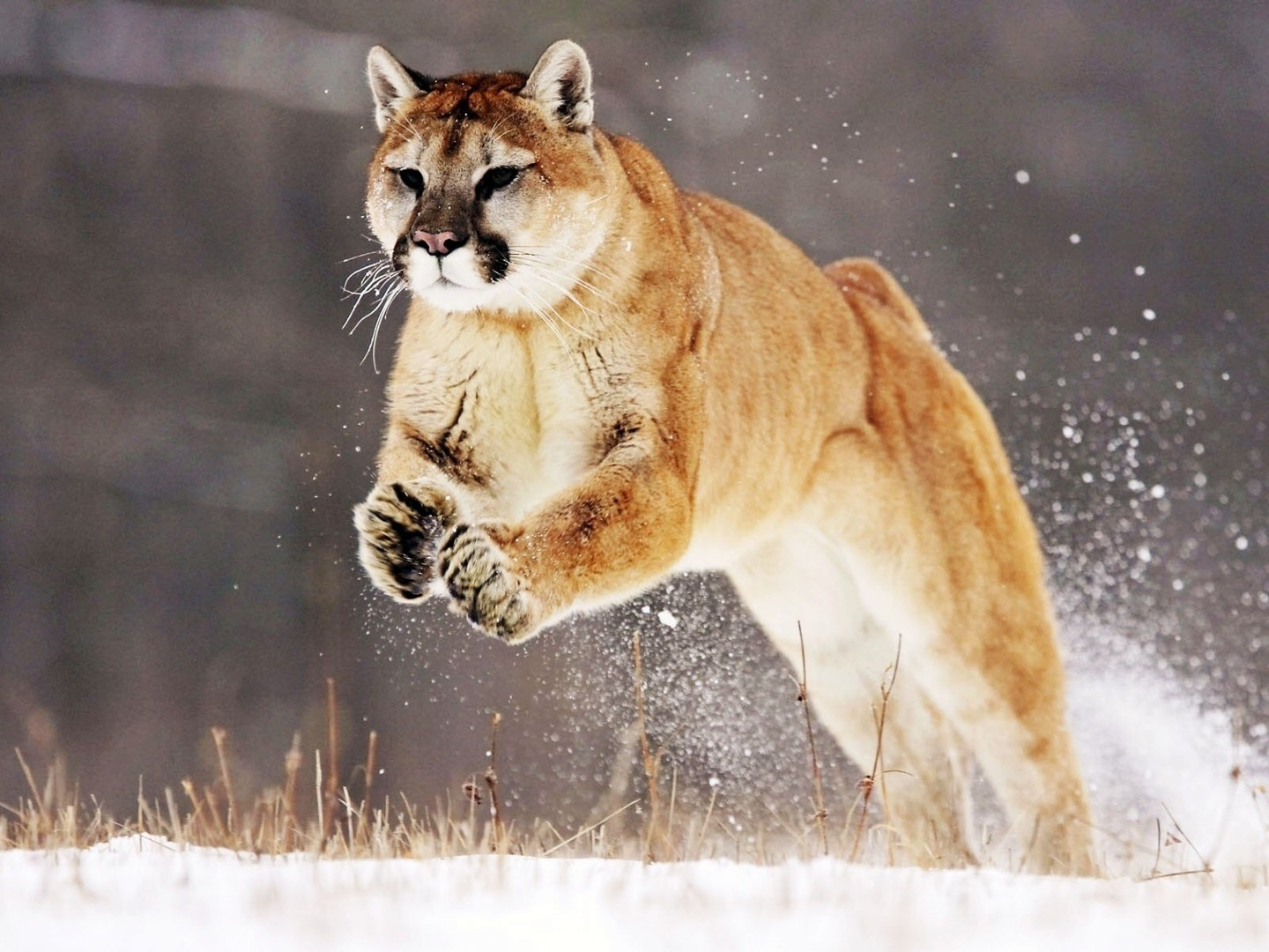 Animals Cougars Mountain Lions Wallpaper Allwallpaper In 12150