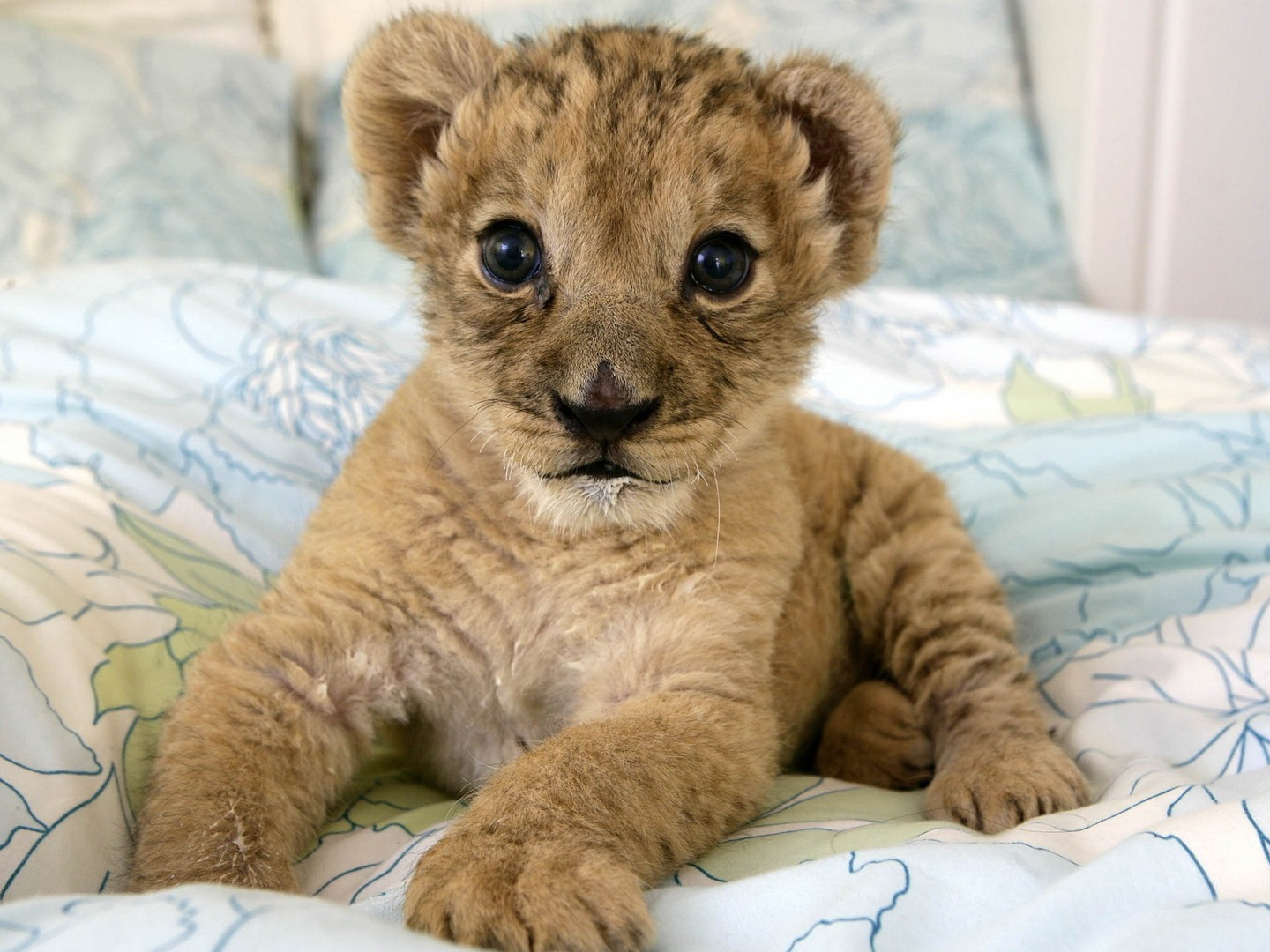 Animals Baby Lions Nature Wallpaper