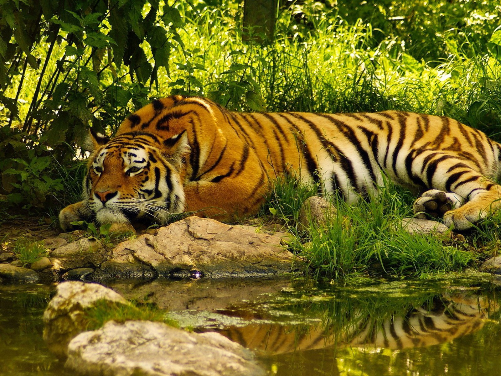 Yawning Tiger - Cats & Animals Background Wallpapers on ... |Bengal Tiger Tired