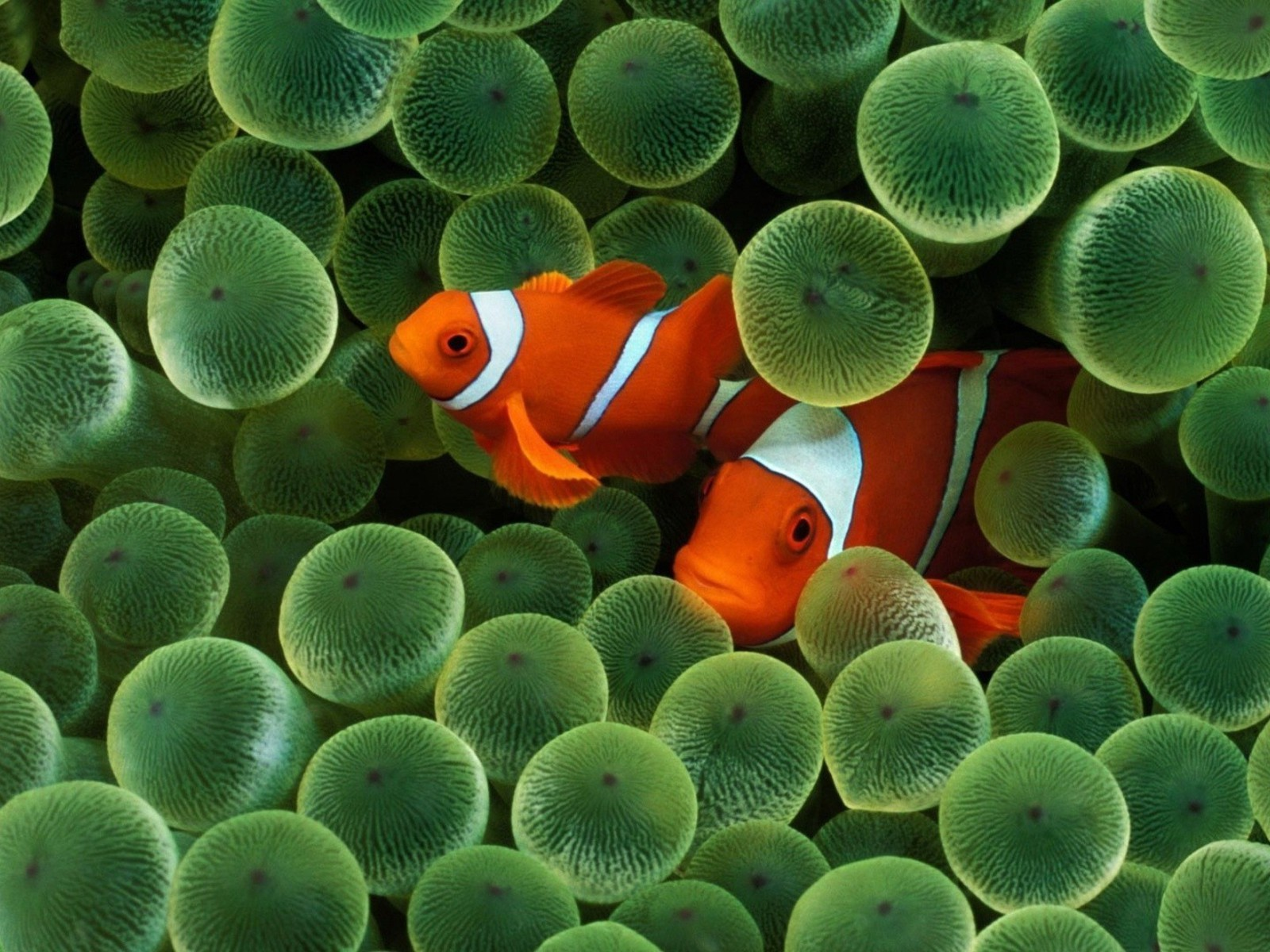 animals clownfish fish sea anemones wallpaper | allwallpaper.in