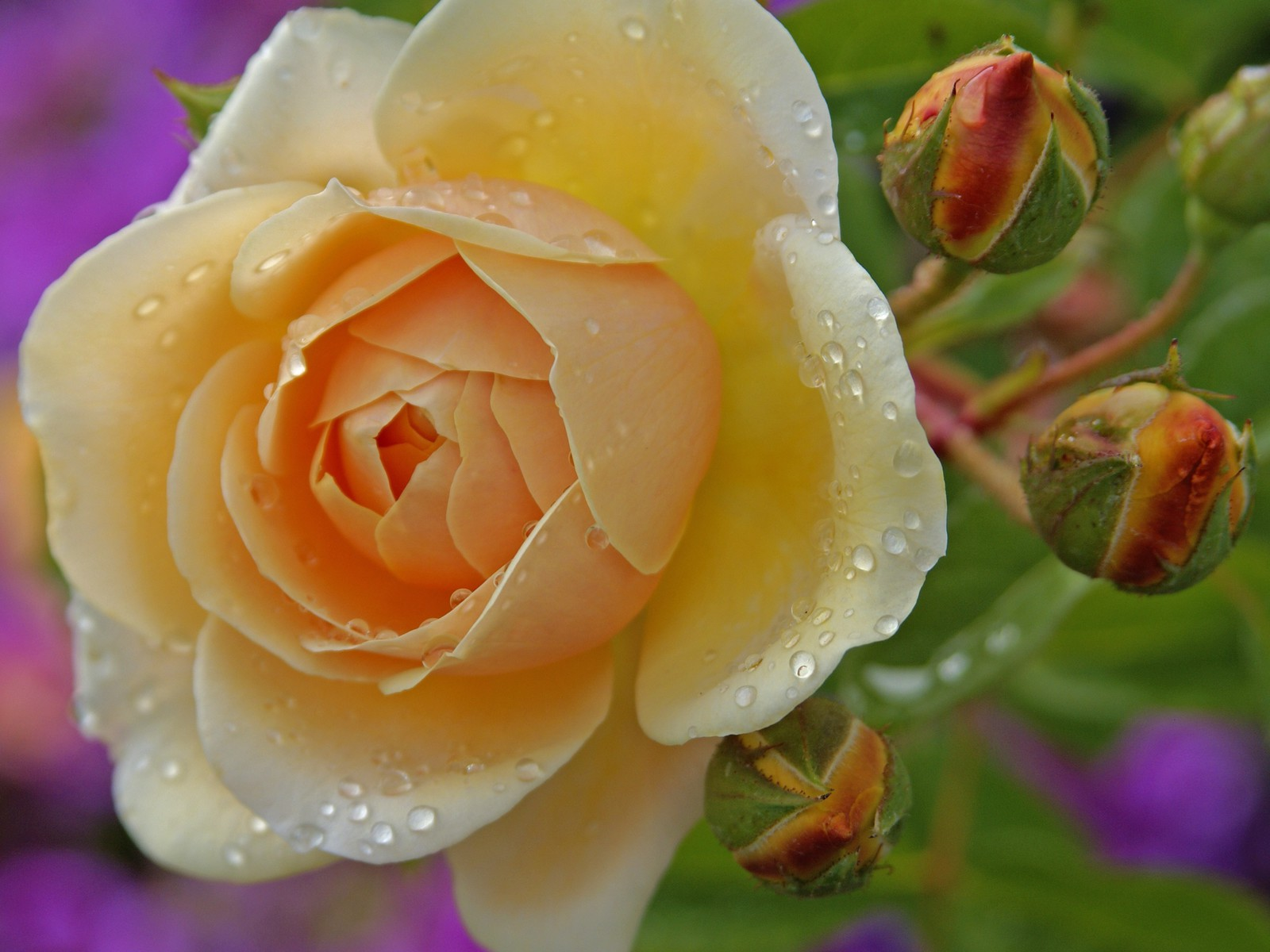 Beautiful Yellow Rose Flowers Wallpapers Choice Image Flower