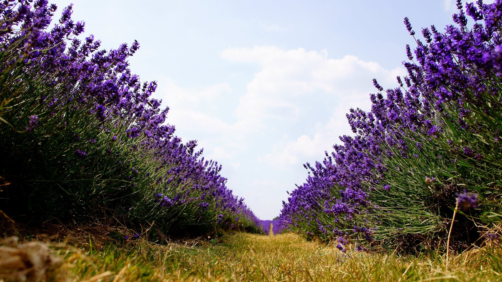 Lavender Nature Path Purple Flowers Worms Eye View