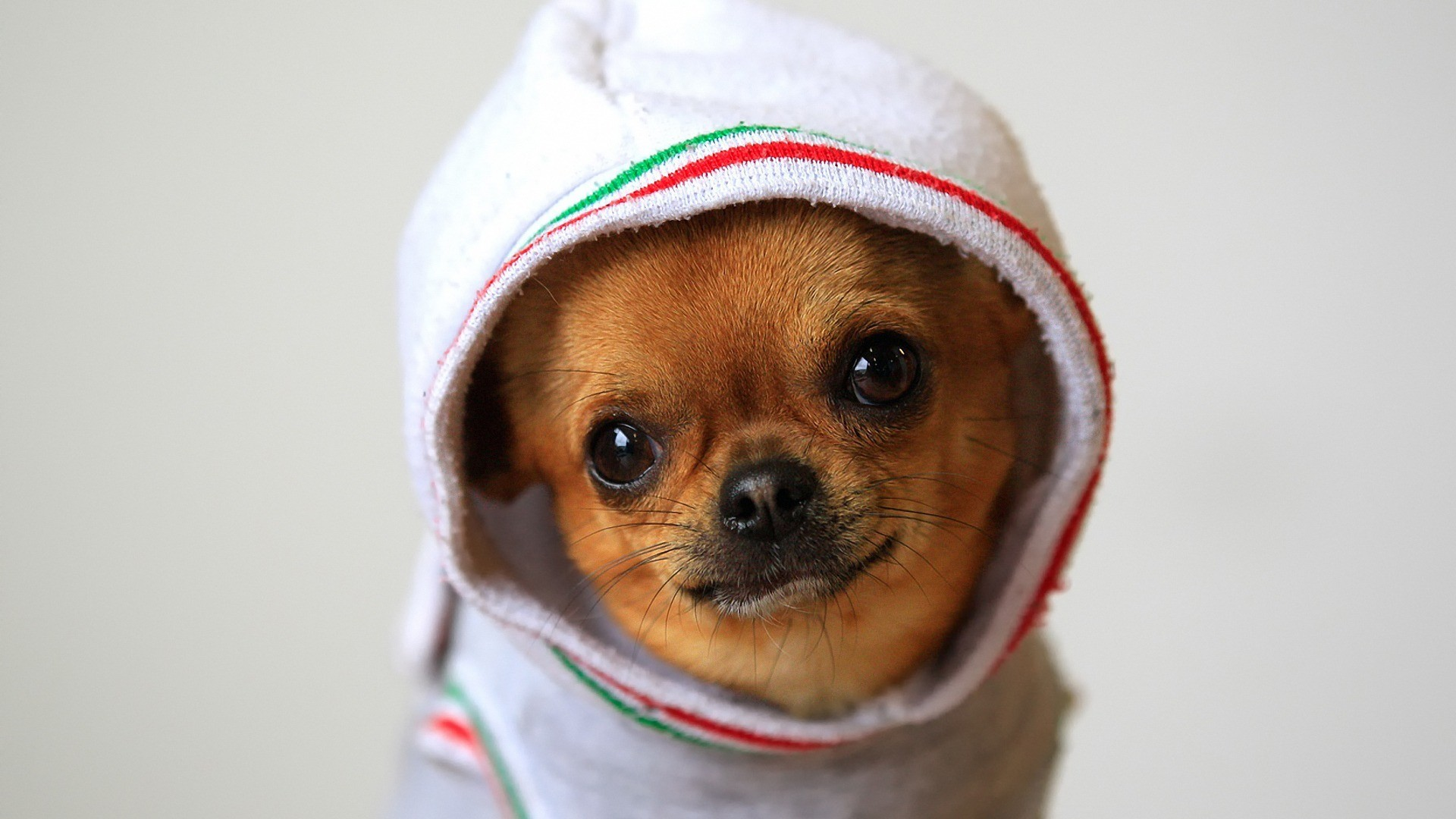 Animals dogs funny chihuahua wallpaper allwallpaper 12822 pc animals dogs funny chihuahua wallpaper voltagebd Images