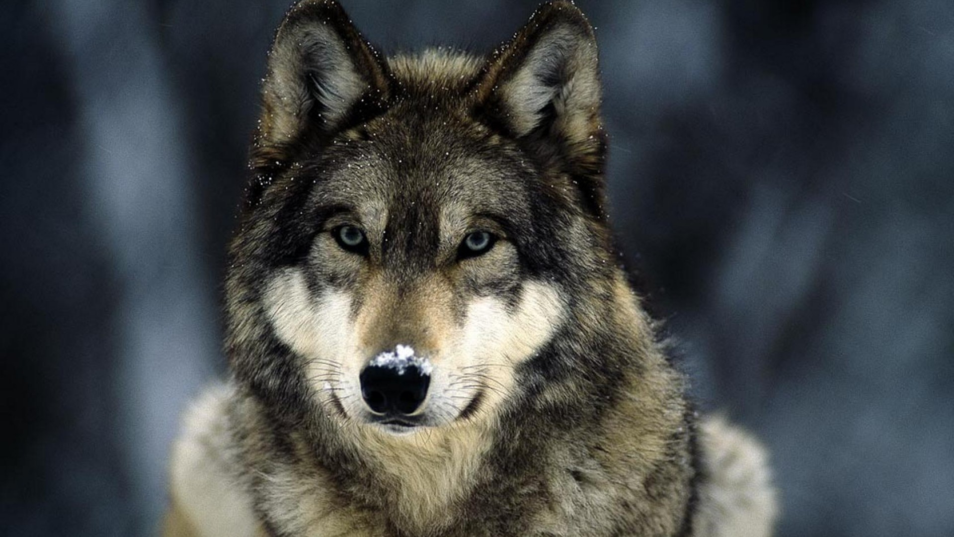 Blue eyes snow landscapes grey wolf wolves wallpaper