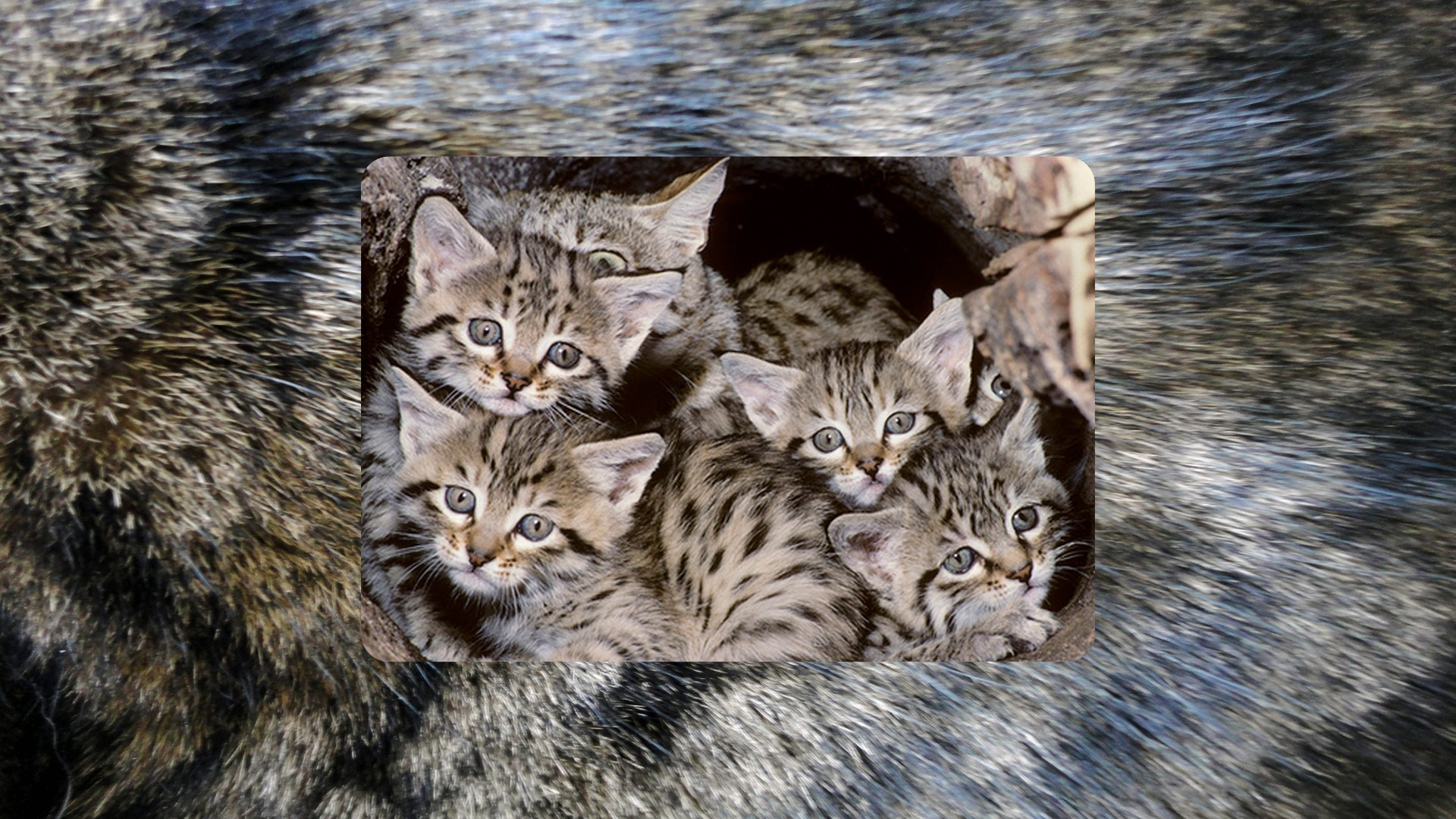 asiatic wildcat wallpaper | allwallpaper.in #14702 | pc | en