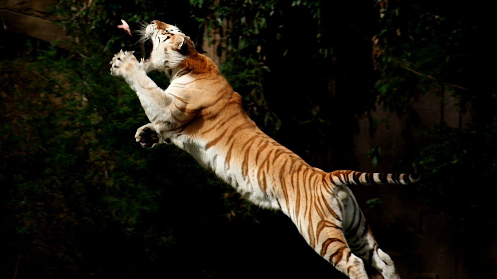 animals birds jumping tigers wallpaper | allwallpaper.in #1957 | pc | en