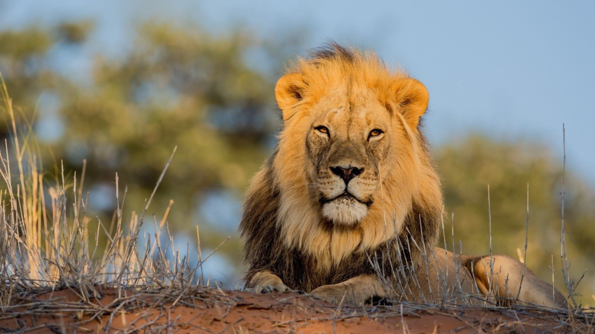 Animals lions wallpaper 3739 pc en - All animals hd wallpapers ...