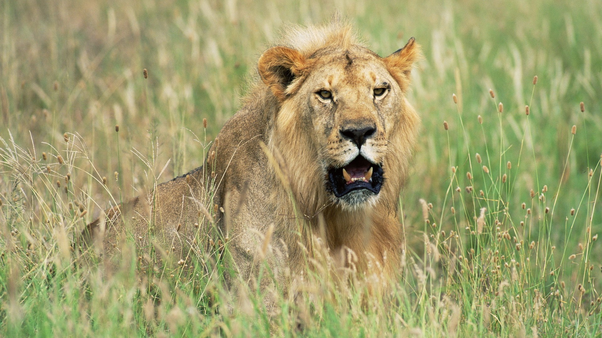 Lion Hd Wallpapers Backgrounds Wallpaper 1920 1080 Picture: Africa Animals Lions Nature Wallpaper