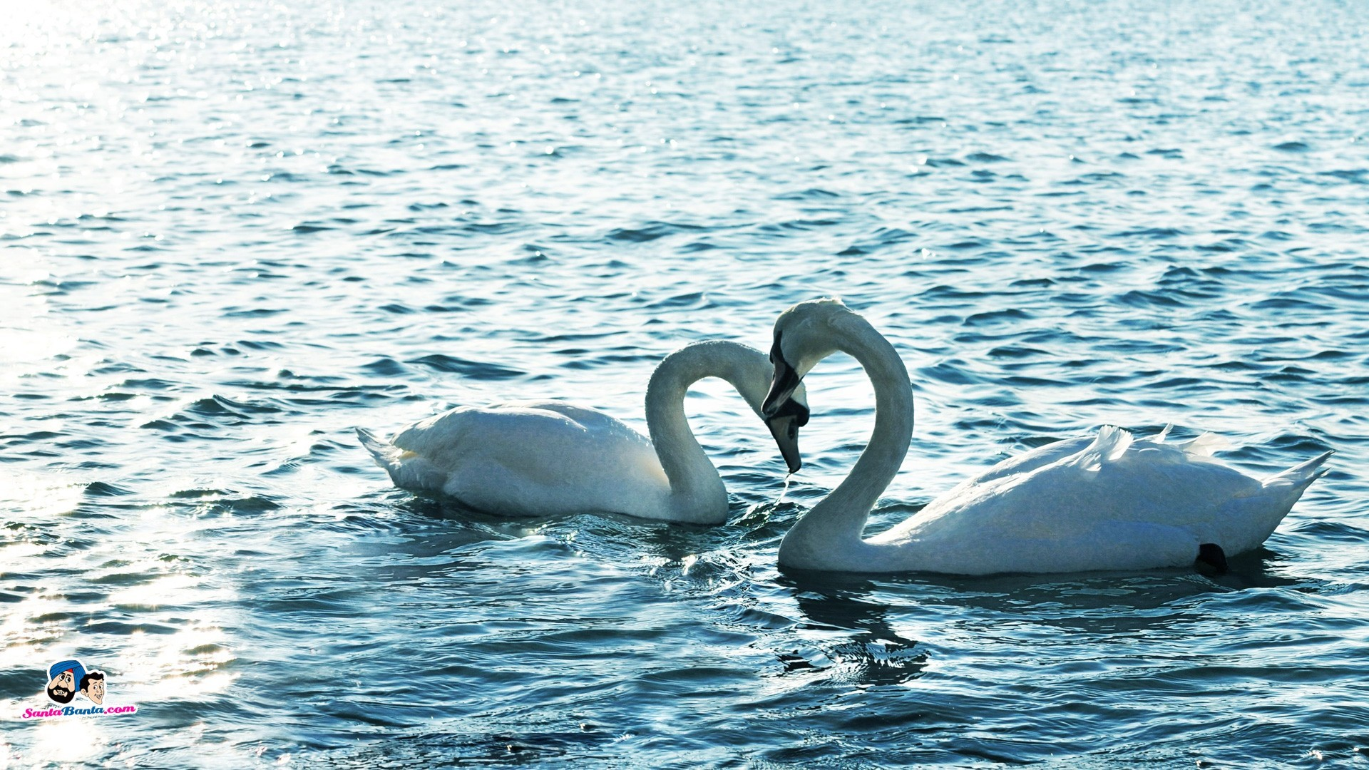 Romantic Swans Couple  Lakes Nature Background Wallpapers on
