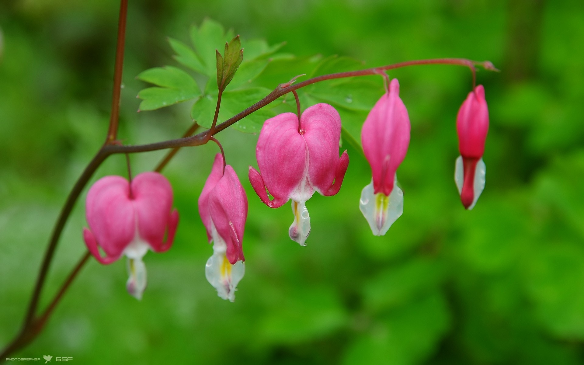 Bleeding hearts flowers pink wallpaper - Pink roses and hearts wallpaper ...