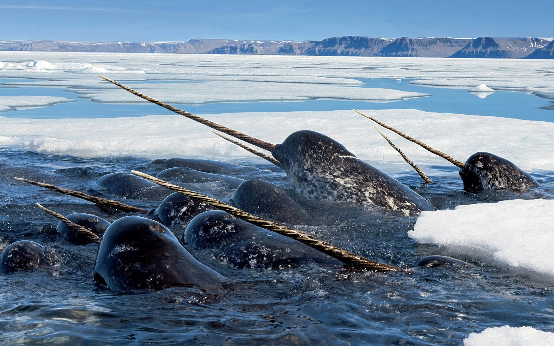 Ice Narwhal Wallpaper