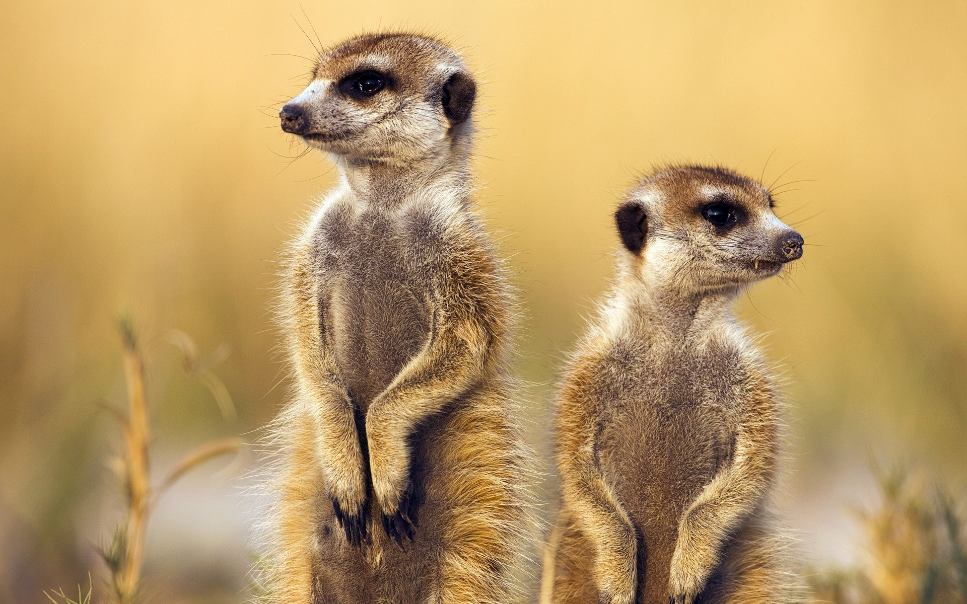 Animals Meerkats Savage African Wild Life Wallpaper