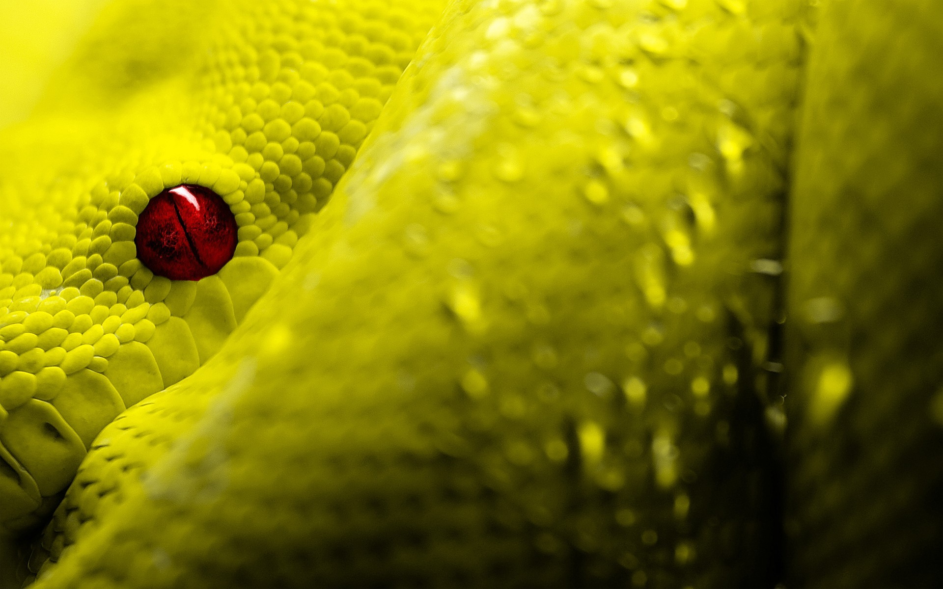 Eyes Red Reptiles Scales Snakes Wallpaper
